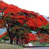 20 Seeds Delonix regia B6 Royal Poinciana Flamboyant Flame Tree Gulmohar