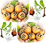 20 Medlar Showy Mespilus - Mespilus germanica Tree Seeds - Taste Like Apple Butter - Zone 6 and UP