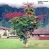 Schefflera actinophylla-araliaceae-Umbrella Tree 10 seeds
