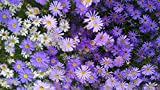 Annual Brachyscome Iberidifolia (Swan River Daisy) Rich in Color 300 Seeds