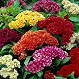 Bluelans 100 Pcs Mix Color Celosia Crested Cockscomb Seeds Easy Growing Flower Seeds