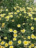 Chrysanthemum Coronarium Edible Garland Daisy Flowers, 100 Seeds