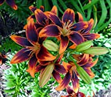 Forever Susan Asiatic Lily 2 Bulbs 14/16 cm - Crimson & Gold
