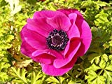 20 Anemone coronaria Bulbs - Sylphide- Single Petaled, Soft Violet-Rose Flowers.