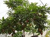 Manilkara zapota Tree Seeds,Jamaican Naseberry SAPODILLA,Grow Indoor/Outdoor