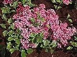 SYRINGA 'TINKERBELLE' - FRAGRANT - STARTER PLANT - DORMANT