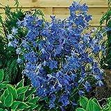 Delphinium- (Delphinium Cultorum) Butterfly Blue - 50 seeds