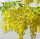 Cassia fistula Golden Shower Tree Seeds yellow Flower clusters Drought Tolerant (10)