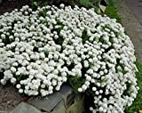 500 Seeds Candytuft Seeds - Iberis Sempervirens 'Snowflake' Hardy Perennial Ground Cover