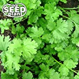Cilantro Seeds - 50 SEEDS NON-GMO