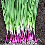 RED Bunching Apache Onion (Op) 1000 Seeds Plant in Spring, Late Summer or Fall.