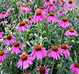 "1oz (6,300+ Seeds) Purple CONEFLOWER ~6"" LG Purple Blooms Flower Seeds ~Echinacea purpurea Bulk"