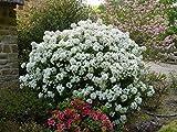 CHOISYA ARIZONICA 'AZTEC PEARL'- FRAGRANT - STARTER PLANT