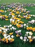Large Crocus Mix - 40 Bulbs - Best Seller - Early Bloomer - 8/9 Cm Bulbs