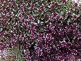 Thymus pulegioides (creeping thyme) .. 50 seeds