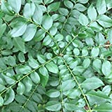 Fresh Whole Curry Leaves - Fresh Loose Whole Curry Leaf - Organic Curry Leaf Tea; Non-GMO Culinary Spice, Indian Cuisine; Price Includes Free 1-3 Day USPS Shipping! (1 oz)