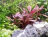 PearlingPlants, Alternanthera Reineckii Mini