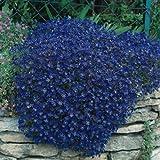 Rock Cress (Aubrieta)- Cascade Blue