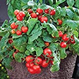 David's Garden Seeds Tomato Currant Tiny Tim PY9613 (Red) 50 Non-GMO, Heirloom Seeds