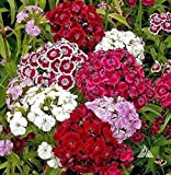 Sweet William,(Seeds) White/Pink/Red, Flower Seeds,Dianthus barbatus(500 Seeds)