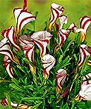 TRUE oxalis flower bulbs (oxalis bulb) rare oxalis versicolor Candy Cane Sorrel flower rotary grass pot home garden plant 2 bulb 1 SEEDS ONLY
