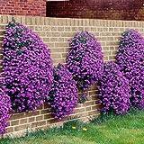 50 Seeds - Rockcress Cascading Purple Flower Seeds (Aubrieta Hybrida)
