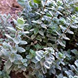 Wild Zaatar Oregano Seeds (Origanum syriacum) 30+ Rare Heirloom Herb Seeds