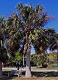 10 Seeds Sabal domingensis Hispaniola Palmetto Palm