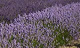 """Findlavender - Lavender French Provence (Blue Flowers) - Very Fragrant - 4"""" Size Pot - Zones 5-11 - Bee Friendly - Attract Butterfly - Evergreen Plant - 4 Live Plant"""