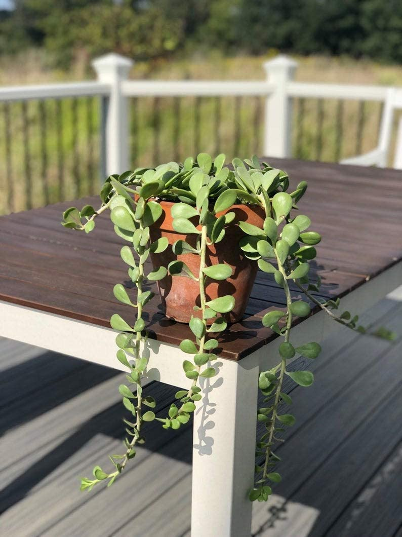 Trailing Jade - To Hang Indoors