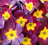 Primula Vulgaris English Primrose Mixed Colors 80 Seeds