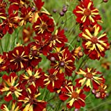 """(PCORE)~""""ROULETTE"""" COREOPSIS~Seed!!!~~~Lovely Semi Double!!!"""