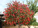 1 Well Rooted of Red Flowing Weeping Bottlebrush Tree.