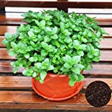 100 Pcs Lemon Mint Seeds Aromatic Herb Plant Mentha Arvensis Seeds Bonsai Herb Plants Edible for Home Garden Easy Grow