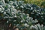 David's Garden Seeds Kale Toscano OS2123 (Green) 500 Non-GMO, Organic, Heirloom Seeds