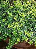"Gold Lemon Thyme Plant - Bright Golden-Edged Leaves - Live Plant - 3"" Pot"