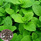 1000pcs Mentha Viridis Seeds Mint Spearmint Spicata Peppermint