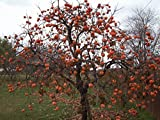 Persimmon Tree - Diospyros virginiana - Healthy Established Roots - 2 Gallon Potted - 1 Plant by Growers Solution