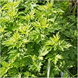 Lulan 100 Seeds Mugwort Herb (Artemisia vulgaris) Non-GMO Seeds