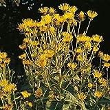 Elecampane - Inula helenium - 60 Seeds