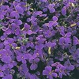 """Aubrieta """"Cascade Blue"""" .. 50 seeds"""