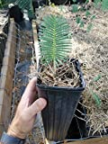 Dioon edule Seedling Chestnut Dioon Palm Cycad Cycas encephalartos