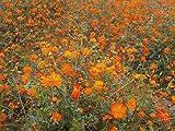 Tall Orange Cosmos Sulphureus Flower 300 Seeds