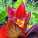 Seeds Shopp 10 Pcs Canna Seeds Beautiful Flower Seed Mix Indica Lily Plants Garden Bulbs Flowers Outdoor Potted Bonsai Flores