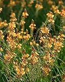 PlantVine Bulbine frutescens 'Orange', Bulbine fruticosa, Desert Candles - Medium - 6 Inch Pot (1 Gallon), 4 Pack, Live Plant