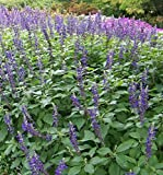 30 Seeds of Perennial Salvia Mystic Spires - Beautiful spikes of blue flowers covering the entire bush!