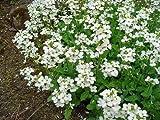 New WHITE ALPINE ROCKCRESS Aubrieta Rock Cress Arabis Alpina Flower 800+ Seeds