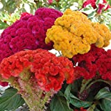 Mix Cockscomb Seeds, Celosia Cristata Seeds, Non-Genetically Modified Seeds (100 Seeds)