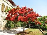 Aquaticseed Inc. 12 Seeds Delonix Regia (Royal Flower Poinciana, Flame Tree)