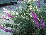 P050X03. 3 Plants of Salvia Leucantha Mexican Sage